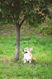 picture of corgi  - Happy dog Welsh Corgi Pembroke sitting on the grass near tree in summer day - JPG