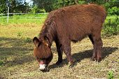 image of feedlot  - small brown donkey on a green meadow - JPG