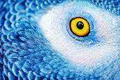 Closeup photo of a yellow eye of the parrot with bright blue feathers, beautiful natural background, poster