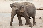 Asian elephant (Elephas maximus). Wildlife animal.  poster