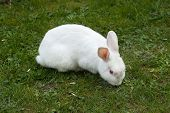 White rabbit. Albino laboratory animal of the domestic rabbit (Oryctolagus cuniculus).  poster