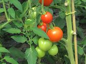 stock photo of tomato plant  - Bunch of the red and green tomatoes - JPG
