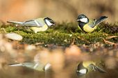 Two Great Tits Sitting On Lichen Shore Of Water Pond In Forest With Beautiful Bokeh And Flowers In B poster