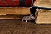 Close-up The Young Mouse Sniffs  The Old Book On The Shelf In The Library. Concept Of Rodent Control poster