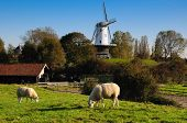 picture of veer  - A meadow scene from Dutch town Veere with traditional dutch windmill and sheep - JPG