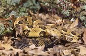 stock photo of timber rattlesnake  - Timber rattlesnake photographed with a long lens - JPG