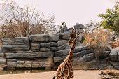 Funny Giraffe Walking In Zoological Park, Barcelona, Spain poster