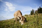 Dairy Cow On The Pasture In Summertime, Bavarian Mountains poster