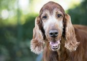Pet Therapy Concept, Beautiful Old Irish Setter Pet Dog Looking poster