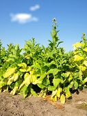 stock photo of tobacco barn  - Tobacco farm - JPG