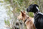 picture of cattle dog  - two dogs looking out at a lake - JPG