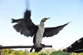 Cormorant with blurred moving wings (ready to fly)