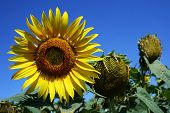 pic of heliotrope  - Image of sunflower on a sunny day - JPG