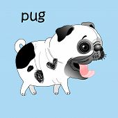 stock photo of pug  - Cheerful white pug on a blue background - JPG
