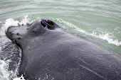 picture of fin  - Tail fin of the mighty humpback whale  - JPG