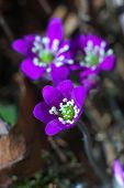 Beautiful Purple Liverwort Flower