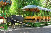 picture of carabao  - a water buffalo rigged to a huge cart