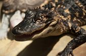 picture of alligator baby  - This baby alligator was resting up and relaxing - JPG