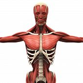 stock photo of oblique  - Illustration of Human Anterior Muscles - JPG