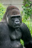 foto of gorilla  - Gorilla portrait and body muscle - JPG
