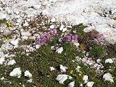 Flowers In The High Rocky Mountains, The Brenta Dolomites