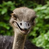 stock photo of heartwarming  - Happy ostrich in zoo Singapore - JPG