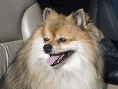 Cute Pomeranian Going For A Ride