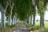 pic of row trees  - Country road in Provence near Arles (Bouches-du-Rhone Provence-Alpes-Cote-d