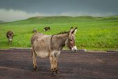 foto of burro  - wild burros in South Dakota with green spring grass and a storm building up - JPG