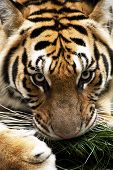 image of possession  - Tiger possessively holds his grass toy - JPG