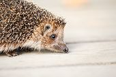 picture of wild hog  - Small Wild Animal Hedgehog on wooden floor - JPG