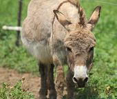 foto of ass  - Angry ass in a green pasture with ears back - JPG