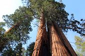 stock photo of sequoia-trees  - California United States - National Forest view in Giant Sequoia National Monument.