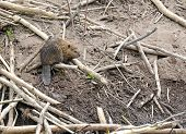stock photo of beaver  - Baby Beaver on beaver dam in pond - JPG