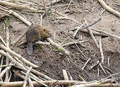 image of beaver  - Baby Beaver on beaver dam in pond - JPG