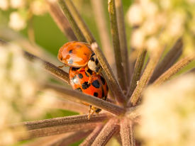stock photo of safe haven  - Two ladybirds trying to find safe haven right in the middle of this beautiful and peaceful flower - JPG