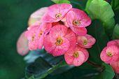 stock photo of crown-of-thorns  - Pink crown - JPG