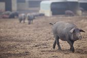 picture of pig-breeding  - Black Iberian pigs running free. Badajoz province Extremadura Spain