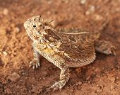 A Texas Horned Lizard or Horny Toad