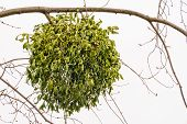 foto of significant  - Viscum album or mistletoe is a hemiparasite on several species of trees it has a significant role in European mythology legends and customs - JPG