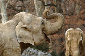 stock photo of indian elephant  - Old elephant in a park - JPG