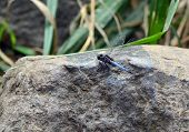 picture of dragonflies  - big dragonfly sitting on the rocks in nature - JPG
