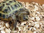 picture of tortoise  - Baby tortoise walking on his tortoise table - JPG