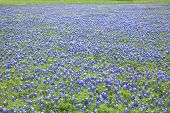 image of bluebonnets  - Field in Texas full of bluebonnet wildflowers - JPG
