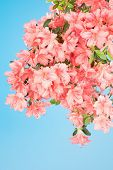 image of azalea  - Azalea branch droops under the weight of dense flower blossoms - JPG