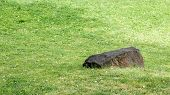 picture of humble  - A black stone laying on green grass - JPG
