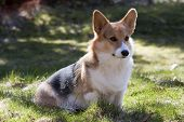 stock photo of corgi  - a young welsh corgi pembroke sitting on lawn - JPG