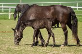 picture of foal  - Old Kladrub black horse mare with foal - JPG