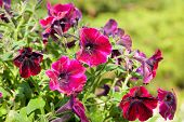 stock photo of petunia  - Blossoming pink petunias in the spring garden - JPG