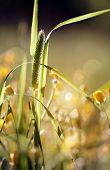 foto of monocots  - Wild grass  - JPG